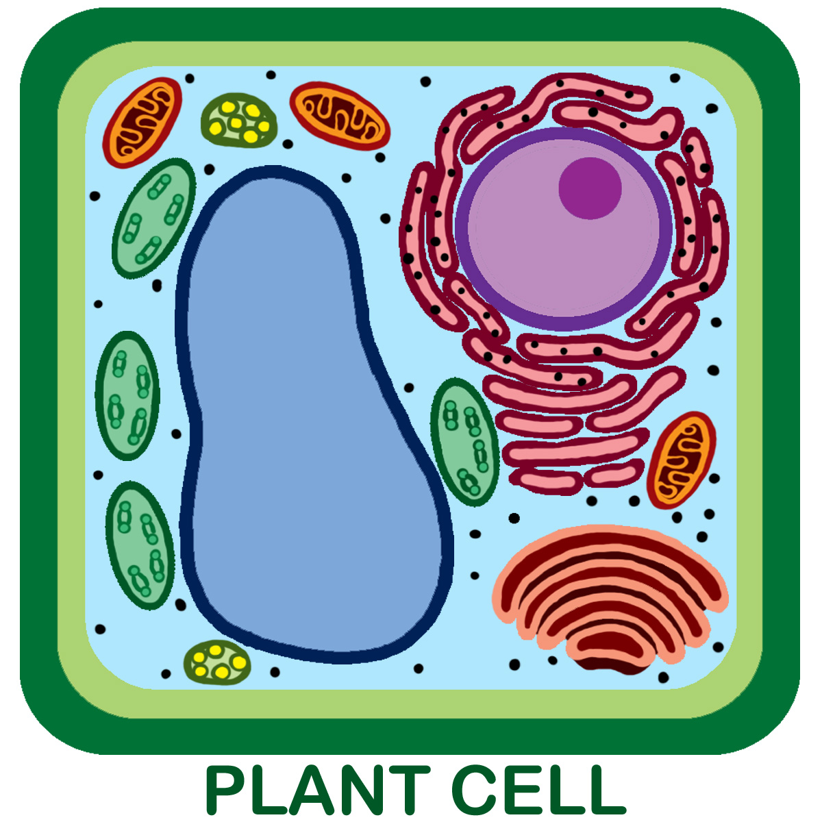Biology Plant Cell Diagram Labeled Detailed Structure Bibliographies Cite This 1200x1200